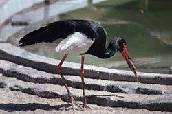 Fekete gólya - Bockereki-erdő